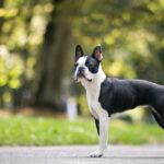 5 Boston Terrier Training Tips